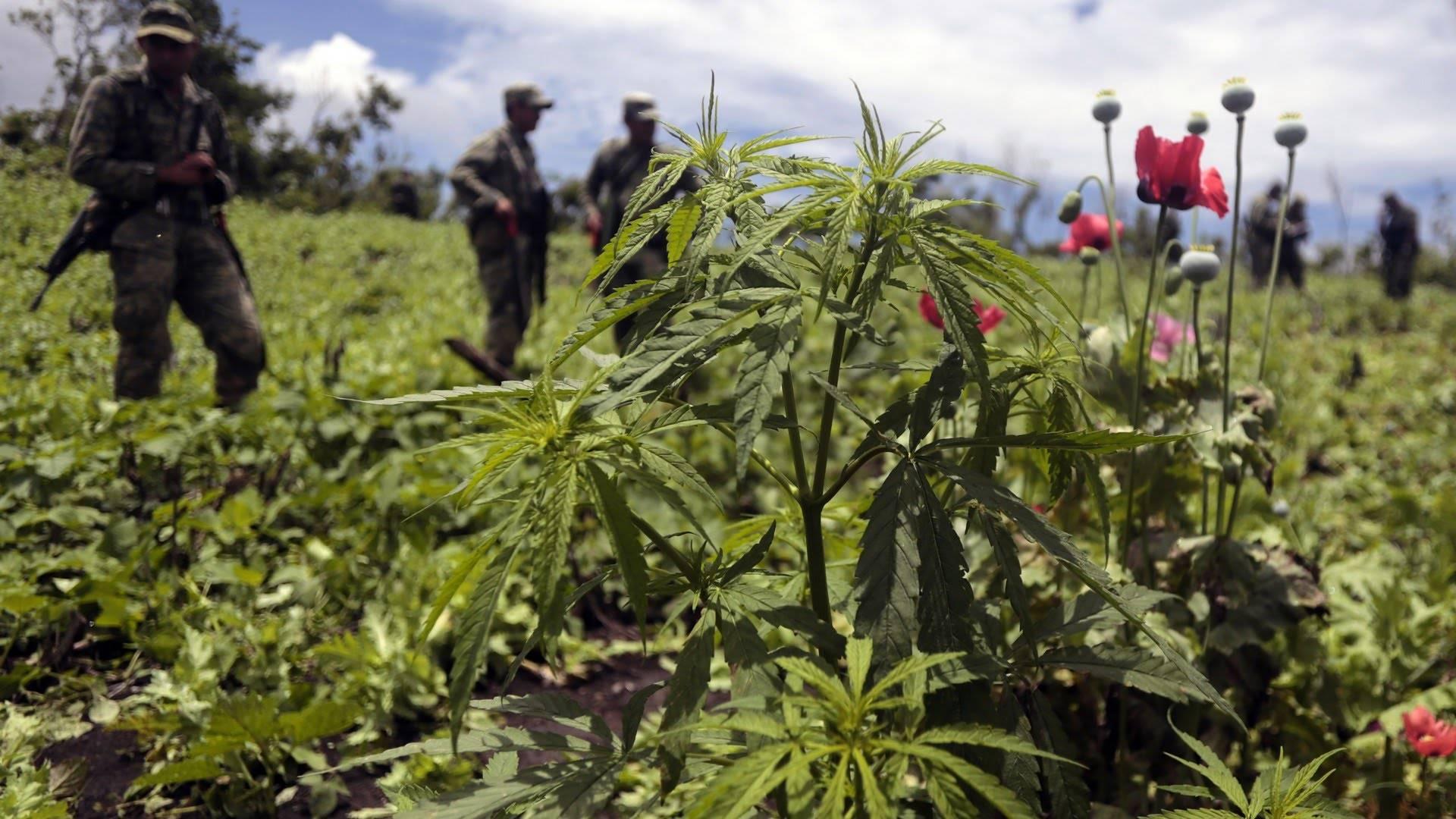 Nasiona Marihuany, Odmiany Colombian Gold, Recenzja, HighStore